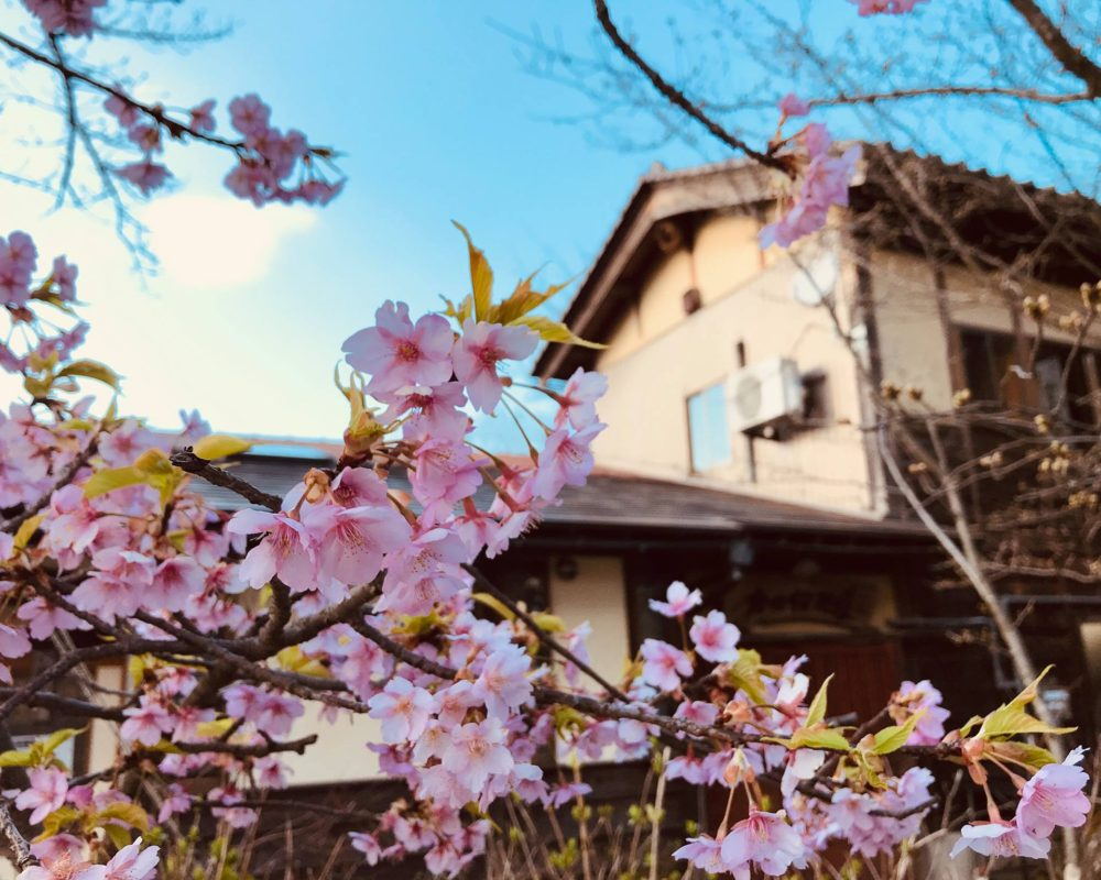 もう足羽山は桜咲いてますよー
